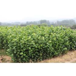 黄河园林、玉兰、玉兰药用价值图片