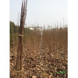 玉兰工程苗、玉兰、黄河园林图片