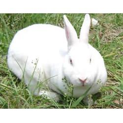 河南微霸獭兔养殖场、了解獭兔养殖、 天津 獭兔图片