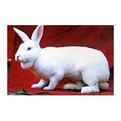 济宁微霸獭兔养殖基地-獭兔养殖技术-金昌 獭兔养殖图片