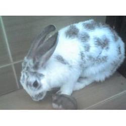 济宁微霸獭兔养殖厂-河南獭兔-巴音郭楞 獭兔图片