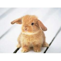 河南微霸獭兔养殖场,河南獭兔养殖技术,贵阳 獭兔图片