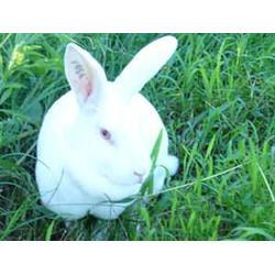 济宁微霸长毛兔基地,长毛兔养殖前景,四平 长毛兔养殖图片
