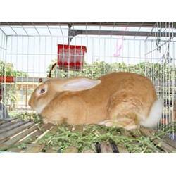 安徽微霸獭兔养殖基地-河北獭兔养殖-上饶 獭兔图片
