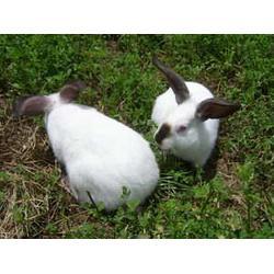 安徽微霸獭兔养殖场、更新獭兔养殖技术、保山 獭兔图片