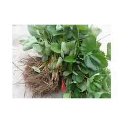 山东草莓苗 季风园艺场 山东草莓苗品种图片