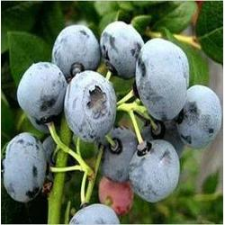 北陆蓝莓苗、季风园艺场、北陆蓝莓苗销售图片