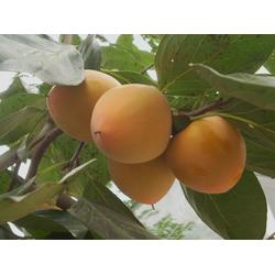 柿子树_3公分柿子树_季风园艺场图片