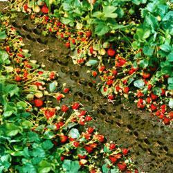 山东草莓苗 山东草莓苗品种-季风园艺场图片