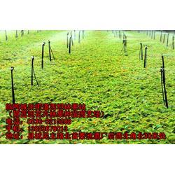 大櫻桃樹苗銷售、壽光大櫻桃樹苗、臨朐櫻桃苗(查看)圖片
