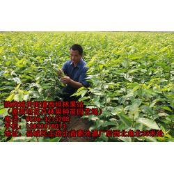 临朐樱桃苗厂家(图)-大樱桃树苗-咸宁樱桃树苗图片
