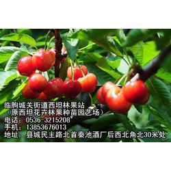 浙江樱桃树苗,临朐樱桃苗,樱桃树苗厂图片