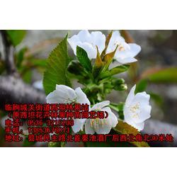 大櫻桃樹苗-櫻桃樹苗-臨朐櫻桃苗公司圖片