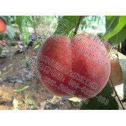 桃树新品种-元宝桃树新品种-桃树新品种厂家图片