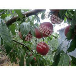 元宝金秋红蜜桃|桃子新品种栽培|潍坊桃子新品种图片