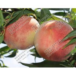 新品种桃树供应商、元宝金秋红蜜桃(在线咨询)、桃树图片