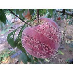金秋红蜜桃生产厂家|元宝金秋红蜜桃|金秋红蜜桃图片