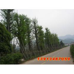 【南京银杏】、银杏树15公分、聚缘银杏图片