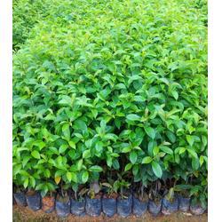 铁冬青树苗-广西铁冬青-大量种苗生产供应图片