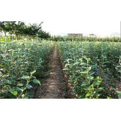 首富苹果苗、首富苹果苗基地、大自然园艺小草沟园艺场图片
