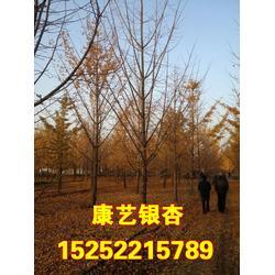 银杏树、北京银杏树、康艺银杏图片