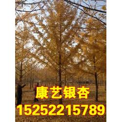 康艺银杏树、康艺银杏、康艺银杏图片