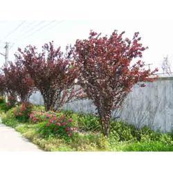 绿化苗木,浮梁县绿化苗木,景致花卉园林绿化施工图片