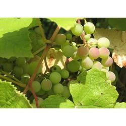 葡萄,寿光大棚葡萄,春澳农业葡萄图片