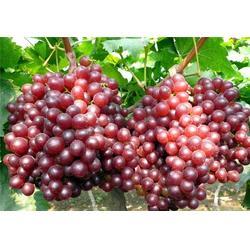 富硒葡萄厂家,富硒葡萄,春澳农业(在线咨询)图片