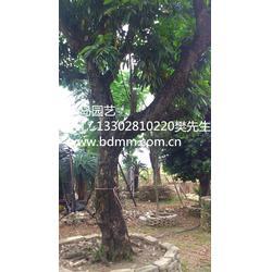 半岛苗木园艺绿化、【龙眼树园林工程】、龙眼树图片