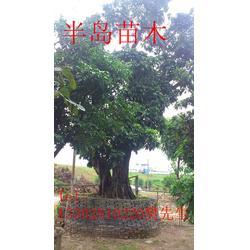 找龙眼树到半岛园艺,龙眼树,半岛苗木园艺绿化图片