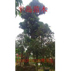 龙眼树,找龙眼树到半岛园艺,半岛苗木园艺绿化图片