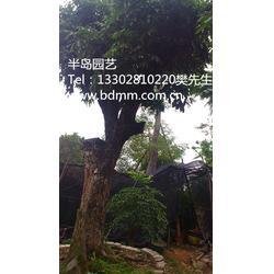 半岛苗木园艺绿化,【买龙眼树到半岛园艺】,龙眼树图片
