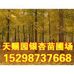 【银杏种子】,银杏种子购买,银杏树种子图片