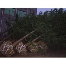 【白果树】 60白果树 天赐园银杏苗圃场图片