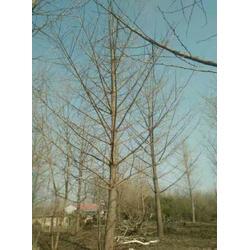 银杏树、天赐园银杏苗木、22公分银杏树图片