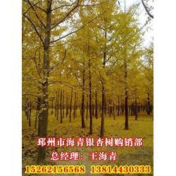 银杏苗木|银杏苗木|海青银杏苗木图片