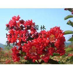 红火箭紫薇、美国红火箭紫薇、金枫园林图片