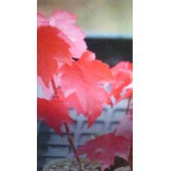 【红点红枫】_美国红点红枫种植基地_美国红枫图片