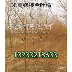 高接金叶榆限时特惠东苑苗木图片