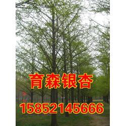 育森银杏|10cm银杏树|银杏树图片