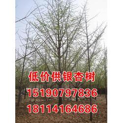 银杏树供应,银杏树,金生银杏图片
