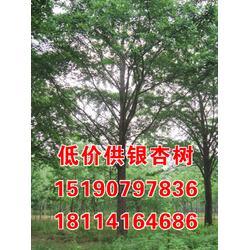 金生银杏,【江苏供应18公分银杏树】,银杏树图片