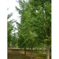 恒运银杏,【山东占地用银杏树的】,占地用银杏树图片