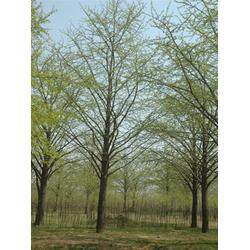 14公分银杏树的_银杏树的_恒运银杏图片