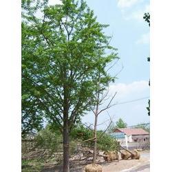春芝园银杏、【邳州银杏树哪里有】、银杏树哪里有图片