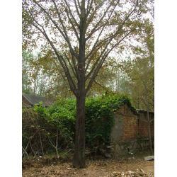【银杏苗圃】|银杏苗圃的|春芝园银杏图片