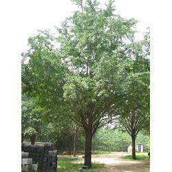 河南银杏树|河南银杏树最新|春芝园银杏图片