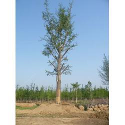 大量银杏树苗木,银杏树苗木,春芝园银杏图片
