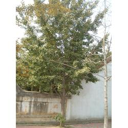 2014年银杏树报价、最新2014年银杏树报价、春芝园银杏图片